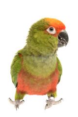 Conure, Aratinga Auricapilla, isolated on White