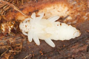 Longhorn beetle larva, Rhagium spieces, macro photo