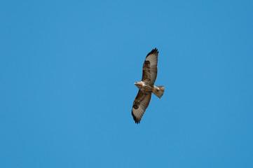 A common buzzard (Buteo buteo) in flight.