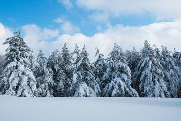 Pine forest covered in snow during winter.