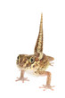 Panther Gecko, Paroedura pictus Isolated on White