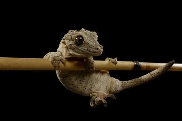 Gargoyle Gecko, Rhacodactylus auriculatus, Isolated on Black.