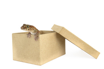 Panther Gecko, Paroedura pictus, Out the Box, Isolated on White