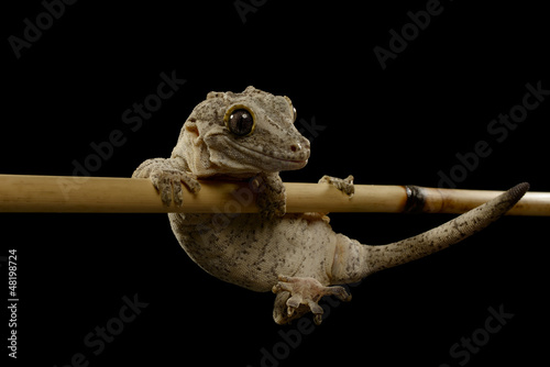 Gargoyle Gecko, Rhacodactylus auriculatus, Isolated on Black.