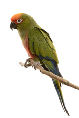 Paradise Gold Capped Conure isolated on white