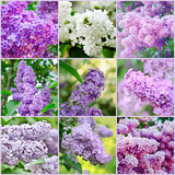 Fototapety Lilac collage