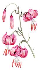 Lilium martagon - giglio martagone