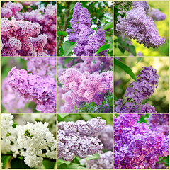 Lilac collage
