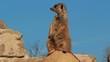 suricata
