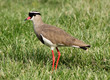 Crowned Plover Lapwing Bird Focussed