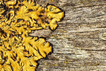 old rough wood background texture with lichen