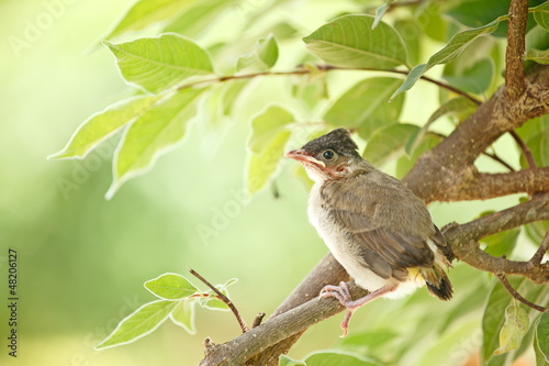 Young bird in first day fly learning