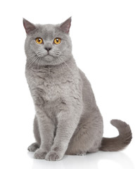 British Shorthair cat portrait
