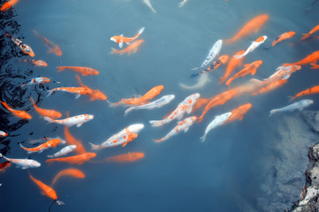 Koi carps swimming in the Pond