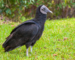 American Black Vulture in the Everglades