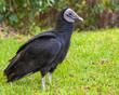 American Black Vulture in the Everglades