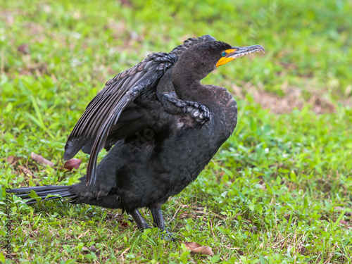 Double-crested Cormorant Stretching