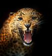 Fototapeten,afrika,leopard,biest,räuber