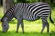 Zebra Grazing on grass