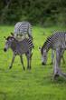 Zebra herd with calf