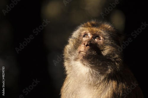 face of a monkey on the Atlas mountains looking at the trees