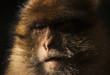 Face expression of a monkey on the atlas mountains