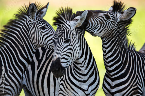 Plexiglas Afrika Zebras kissing and huddling