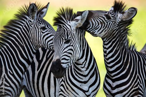 Poster Zebras kissing and huddling