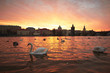 Group of swans on Vltava River in Prague