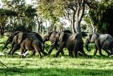 Fototapeta zwierzę - duży - Dziki Ssak
