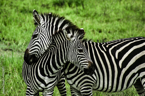 Fotobehang Zebra Zebras over green background in Zambia