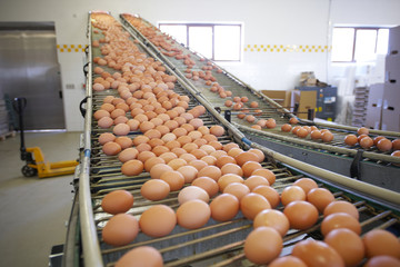Eggs moving on the production line.