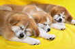 Pets, Akita Inu puppy dogs sleeping at yellow towel