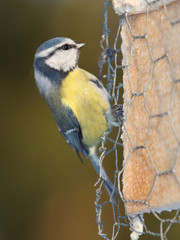 blue tit pecks tallow