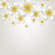 White plumeria (frangipani) flower background.