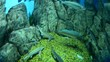 sturgeons and salmons