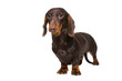chocolate dachshund puppy on isolated white