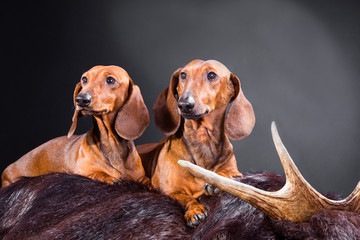 two red dachshund dogs with hunting trophy