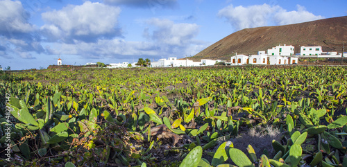 green cactus field with village in background