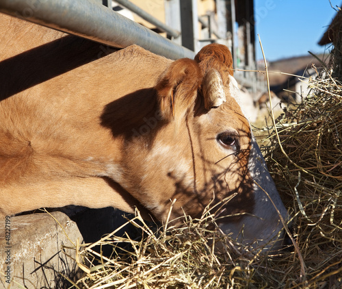 Cow in farm