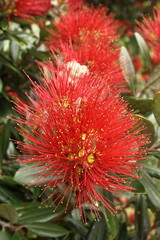 detail of Pohutukawa flowers