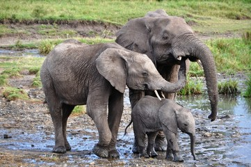 Cute elephant family drinking water, masai mara, kenya, Africa