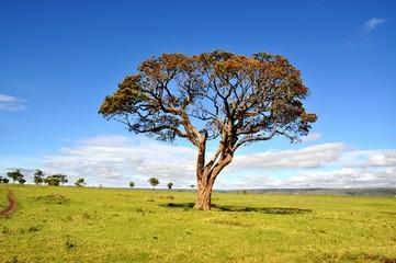 landscape with big tree in the masai mara, kenia, africa