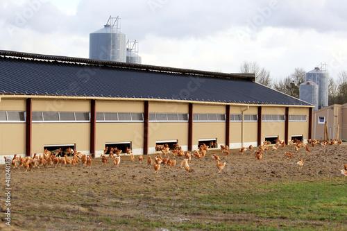 Foto op Canvas Kip élevage de poulets