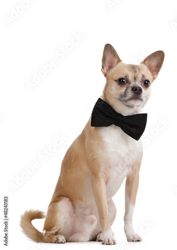 Pale yellow doggy with bow tie, isolated on white