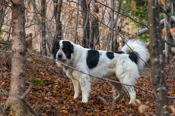 Mioritic Romanian shepherd dog in the forest