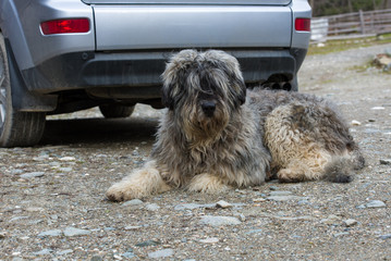 Portrait of mioritic romanian shepherd dog guarding a car