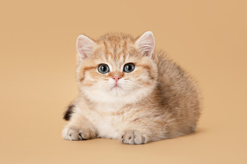 small golden british kitten on light brown background