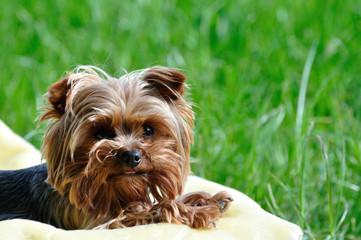 york terrier miniaturka