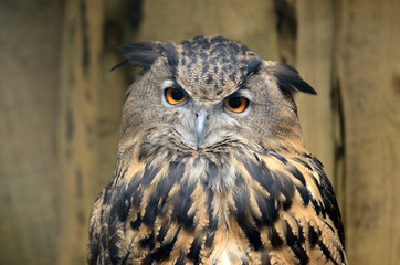 The great eagle-owl in woods